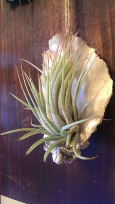 Hey, I found this really awesome Etsy listing at https://www.etsy.com/listing/177073887/hanging-oyster-shell-tillandsia