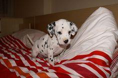Dalmatian! #dalmatian #dogs #animals #spots #dalmatians https://www.facebook.com/pages/Dalmatians/221192661317562
