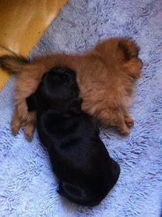 Pug & pomeranian sisters