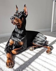 Cute Dogs And Puppies, Big Dogs, Large Dogs, Doggies, Doberman Pinscher Dog, Doberman Dogs, Dobermans, Blue Doberman, Chien Dobermann