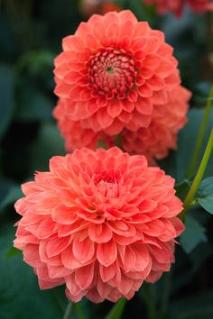 ~~Dahlia 'Safe Shot' | Decorative, Ball Dahlia with fiery Orange blooms of 4 to 6 inches. Grows to 4 ft high. Beautiful cut flower and great for borders | by Alan Buckingham~~