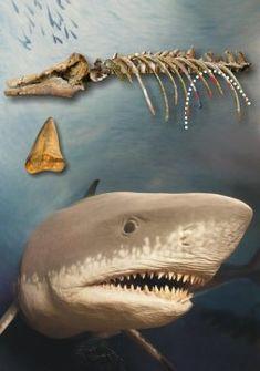 30x60 Large White Shark Hammerhead  Cruise Vacation Pool Gift Bath Beach Towel