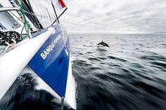 Armel Le Cléac'h et un dauphin !    Photo : Vincent Curutchet (DPPI)