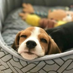 Are you interested in a Beagle? Well, the Beagle is one of the few popular dogs that will adapt much faster to any home. Whether you have a large family, p Dog Training Methods, Basic Dog Training, Training Dogs, Cute Beagles, Cute Dogs, Lemon Beagle, Puppy Obedience Training, Positive Dog Training, Easiest Dogs To Train