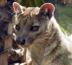 Le fossa, mi-chien mi-puma  : Endémique de l'île de Madagascar, le fossa ressemble à un puma de petite taille, au corps long et musclé. Il est pourtant le plus gros mammi...