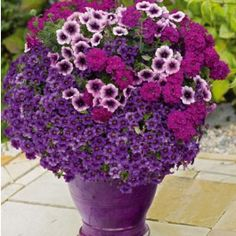 'Sweetunia Purple Vein' Petunia, 'Empress Purple' Verbena and 'Aloha Purple Sky' Calibrachoa. I love this colour combination.