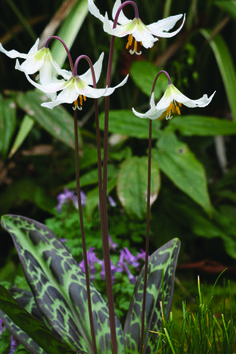 Erythronium oregonum/ giant white fawn lily bulb for light to dappled shade - Gardening Daily Woodland Plants, Woodland Garden, Rare Plants, Exotic Plants, Garden Bulbs, Shade Garden, Cactus, Lily Bulbs, Moon Garden