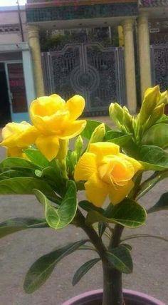 Rosa del desierto Most Beautiful Flowers, Exotic Flowers, Pretty Flowers, Yellow Flowers, Beautiful Gardens, Tropical Garden, Tropical Plants, Desert Rose Plant, Orquideas Cymbidium