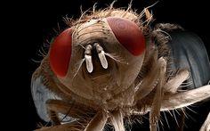 Vista de la mosca comefruta