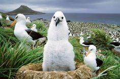 NatGeo Albatross chick Falkland Islands