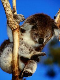 Koala at Healesville Sanctuary, Melbourne, Australia