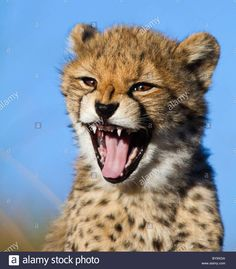 cheetah-cub-yawning-showing-his-teeth-BY9XGA.jpg (1219×1390)