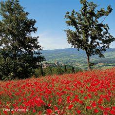 IL PAESAGGIO DEL #CASENTINO , L'AMBIENTE NATURALE - campo di #papaveri