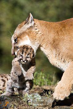 Alabama Big Cat Species