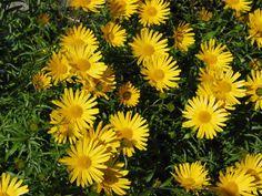 BUPHTHALMUM salicifolium 'Dora' - Tusindstråle Tusindstråle - Kan blive 40 cm - Blomsterfarve: gul - Blomstringsmåneder: juni - august - Plantested: Sol. God til bunddække. - Vi anbefaler at der plantes ca. 6 planter/m2. Velegnet til snit.