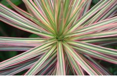 All you need to know about Madagascar Dragon Tree care. Dracaena marginata is an evergreen tree that makes a wonderful, easy to care for houseplant. Dragon Tree Care, Dragon Tree Plant, Dragon Blood Tree, Aloe Plant Care, Madagascar Dragon Tree, Garden Guide, Garden Ideas, Smart Garden, House Plant Care