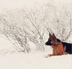 German Shepherds love snow!