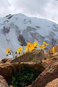 Горные маки(высота 3500м) на фоне вершины Молодёжная. Павел Федосеев