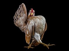 A Serama chicken demonstrates its runway strut. It was one of many chickens recently photographed by Ernest Goh in Malaysia
