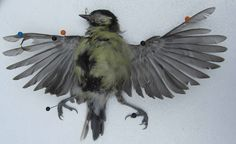 Dead Blue Tit with Wings Outstretched