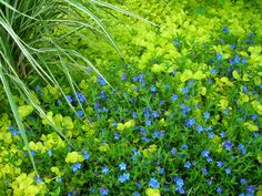'Silver Falls' Dichondra mixed with Annual Lobelia Golden Creeping Jenny and 'Grace Ward' Lithodora Summer colors Summer Garden, Lawn And Garden, Silver Falls Dichondra, Raised Planter, Ground Cover Plants, Backyard Paradise, Low Maintenance Plants, Jpg, Gardening