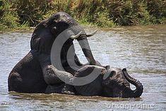 Photo about Two Elephants fighting on the Runde River at Gonarezhou - Zimbabwe. Image of national, gonarezhou, - 47812232 Elephants Playing, Play Fighting, Zimbabwe, Southern, Africa, River, Stock Photos, Animals, Image
