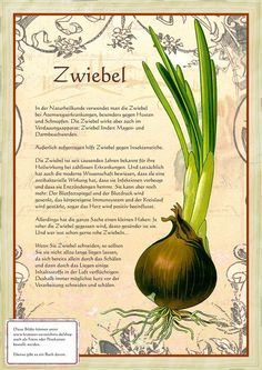 Zwiebel www. Herbal Plants, Medicinal Plants, Plant Illustration, Botanical Illustration, Herbs For Health, Herbal Essences, Home Garden Plants, Healing Herbs, Aquaponics