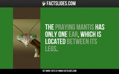 The praying mantis has only one ear, which is located between its legs.