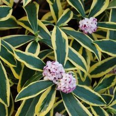 Buy daphne Daphne odora Marianni ('Rogbret') - Distinct leaf variegation and heady scent: pot: Delivery by Crocus Hydrangea Macrophylla, Hortensia Hydrangea, Daphne Odora, Anemone Du Japon, Aucuba Japonica, Geranium Vivace, Evergreen Bush, Rhododendron, Gardens