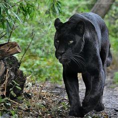 Black Jaguar (abhilashrs, 2015)