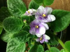 A mini NOID African Violet.  Bought this from an ebay seller about 2 or 3 years ago.  This is the first time it has bloomed.....that's my fault.  It's so cute.....very small.       Vicki