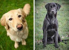 Neutering health effects more severe for golden retrievers than Labradors - http://scienceblog.com/73321/neutering-health-effects-severe-golden-retrievers-labradors/