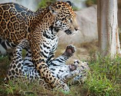 earthlynation:  Jaguars by WisteriaLane