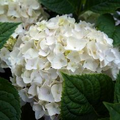 The reblooming, pure white, semi-double florets of Endless Summer Blushing Bride Hydrangea Shrubs mature to blush pink or blue. Buy online for your garden! Hydrangeas For Sale, Pruning Hydrangeas, Hydrangea Shrub, Hydrangea Bloom, Hydrangea Macrophylla, Hydrangea Not Blooming, Blushing Bride Hydrangea, Part Shade Flowers, Endless Summer Hydrangea