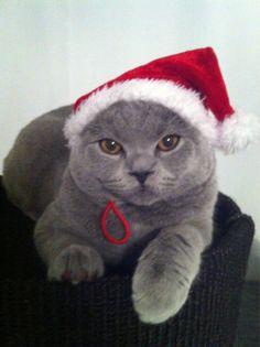 ᵔᴥᵔ  Santa cat