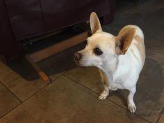 Found Dog - Chihuahua Short Haired - Mesa, AZ, United States 85215 on November 25, 2015 (21:00 PM)