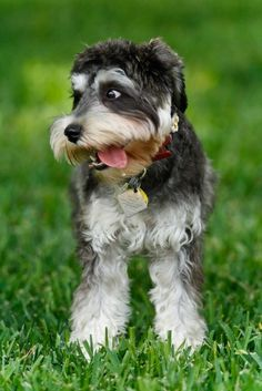 You don't think you're photogenic. | Community Post: These Mini Schnauzers Will Solve All Of Your Problems