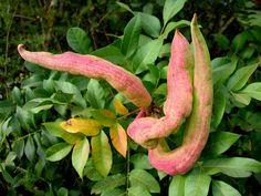 Terpentin-Pistazie, Terebinthe Samen (Pistacia terebinthus)