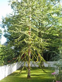 Monkey Puzzle tree on the grounds of Bunratty Folk Park.
