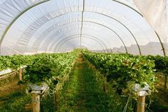 Лучший Клубника: в открытом грунте и в теплице - выбираем для себя подходящий способ выращивания