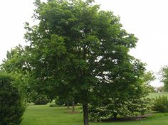 Norway Maple - They are a bit less tolerant of the wet area so maybe you'd plant them elsewhere in the yard.  They come in green & red.