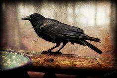 wrenny59:  Crow