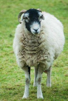 Search Twitter - #sheepoftheweek