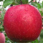 Fuji Kiku-8 - Fruitbomen.net Mobiel