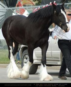 Clydesdale by shari