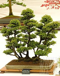 Japanese cedar http://www.gardenworldimages.com/ImageThumbs/COL824/3/COL824_BONSAI_TREE_JAPANESE_CEDAR_CRYPTOMERIA_JAPONICA_YATSUBUSA_FOREST_GROUP_STYLE.jpg