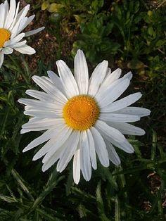 샤스타 데이지 (국화과), 구절초와 닮았지만 봄에 꽃이 피고 좀 더 크다.
