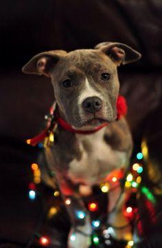 Pitbull Waiting For Its Christmas Feast via @KaufmannsPuppy
