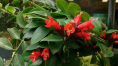 Todo lo que debes saber sobre las plantas colgantes Aeschynanthus - https://www.jardineriaon.com/aeschynanthus.html #plantas