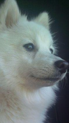 puppy at peace♡ Pomsky, Pomeranian Puppy, American Eskimo Puppy, Japanese Spitz, Samoyed Dogs, Dog Whistle, White Dogs, Dog Life, Samoyed